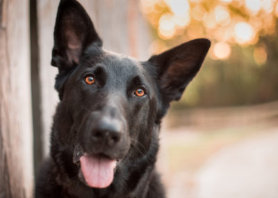 German shepherd smiles dreamy bokeh fence - Fetching Foto Photography