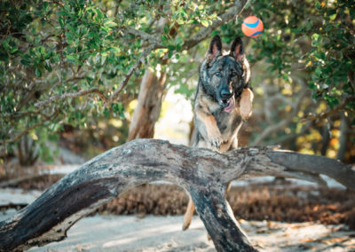 German shepherd leaps for ball - Fetching Foto Photography