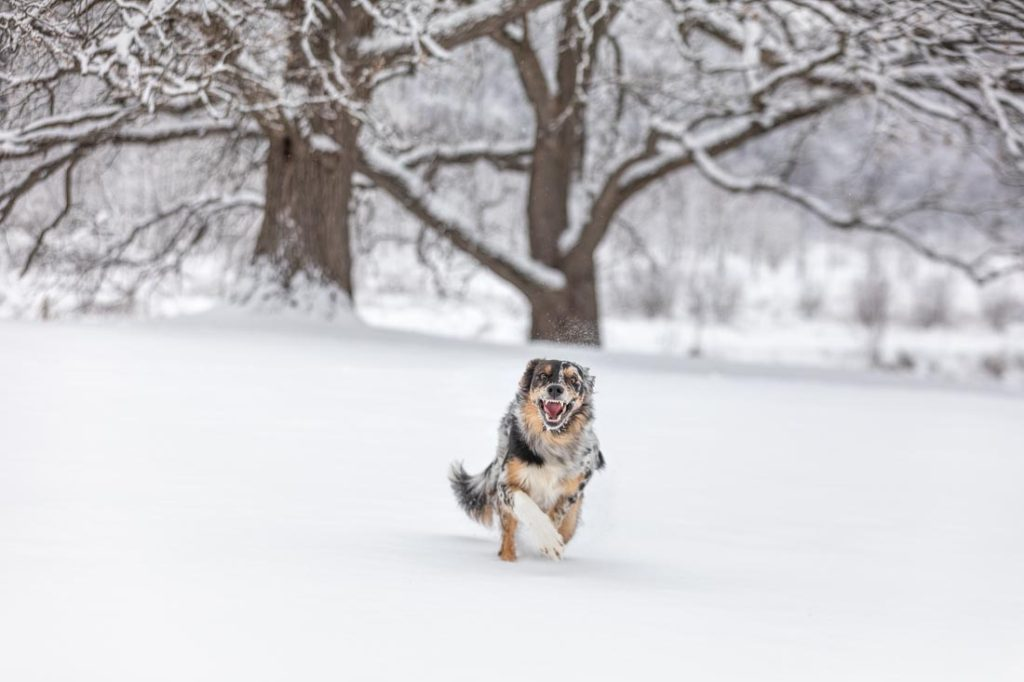 Border Collie Puppy with fierce look leaps through snow in a huge filed with towering ominous snow covered oak trees in the distance.