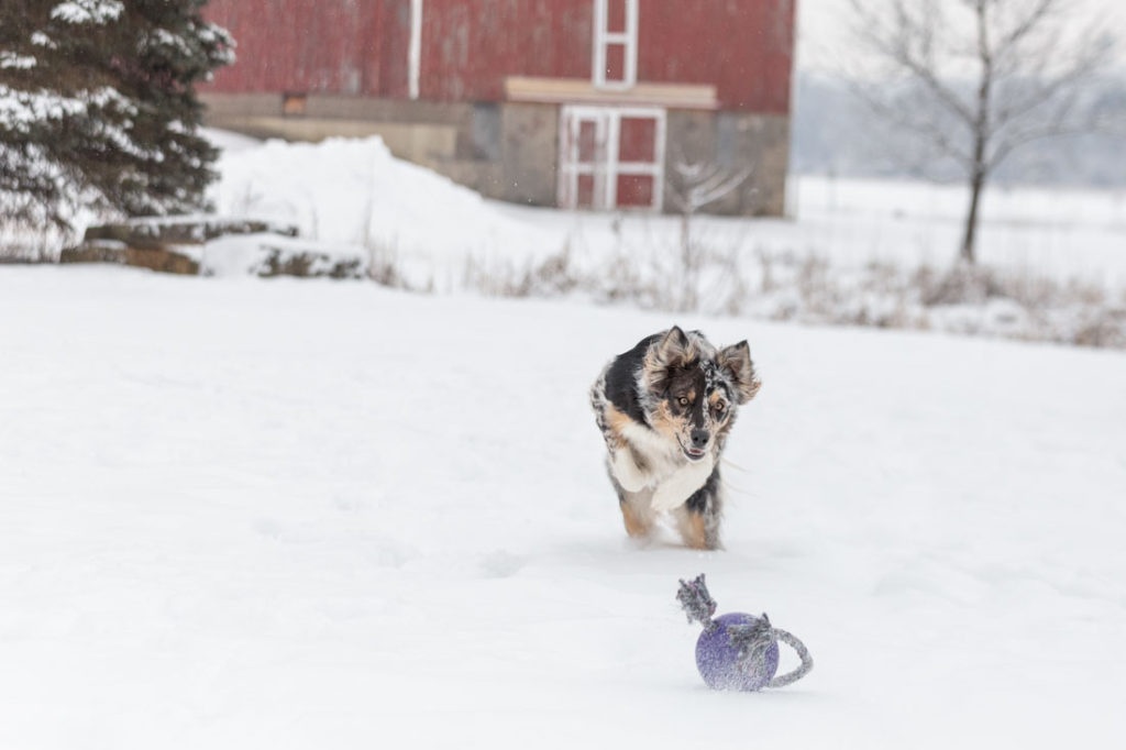 Border Collie puppy tears through snow and leaps towards a large purple throw ball. Beautiful red barn is off in the distance.