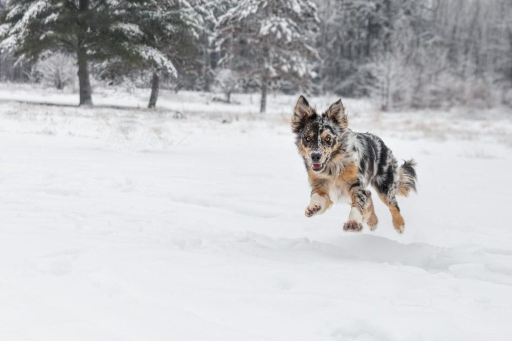 Tri color Border Collie leaps through the air in a winter scene with snow covered spruce trees in the distance.