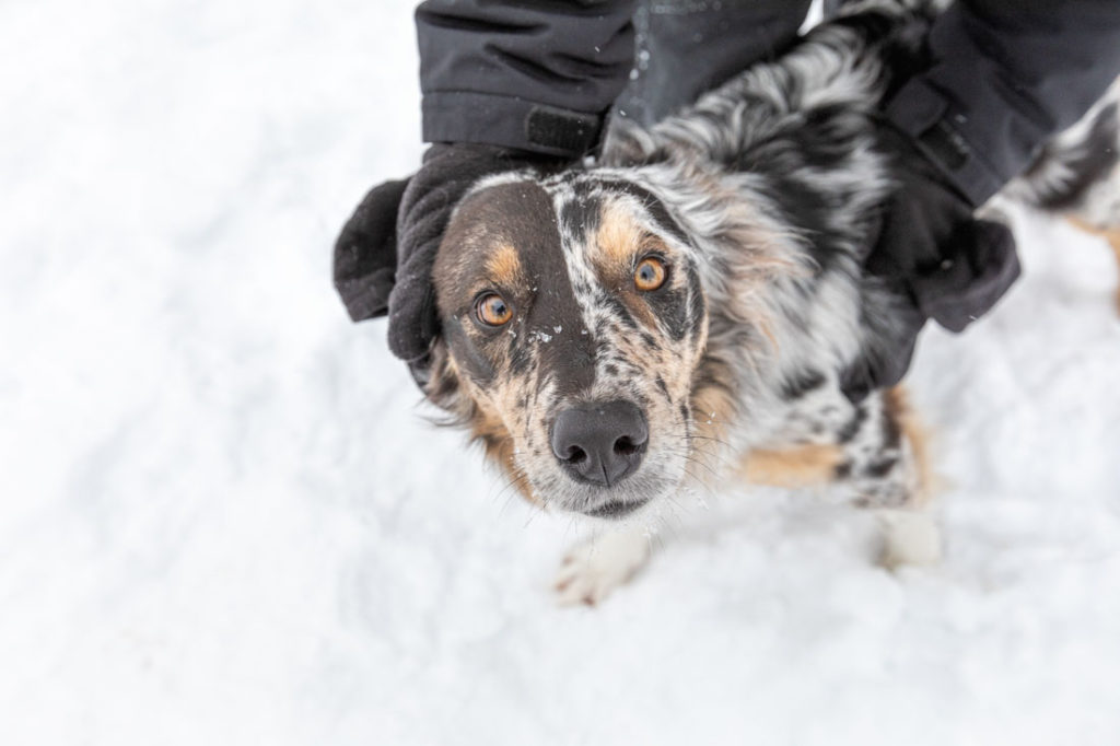 Close up of tri color Border Collie face in a soft snow scene. Puppy is getting face rub with ears squeezed back.